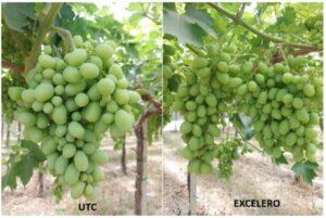 L'impiego di Excelero® permette di regolare l'uniformità della maturazione riducendo le operazioni di raccolta